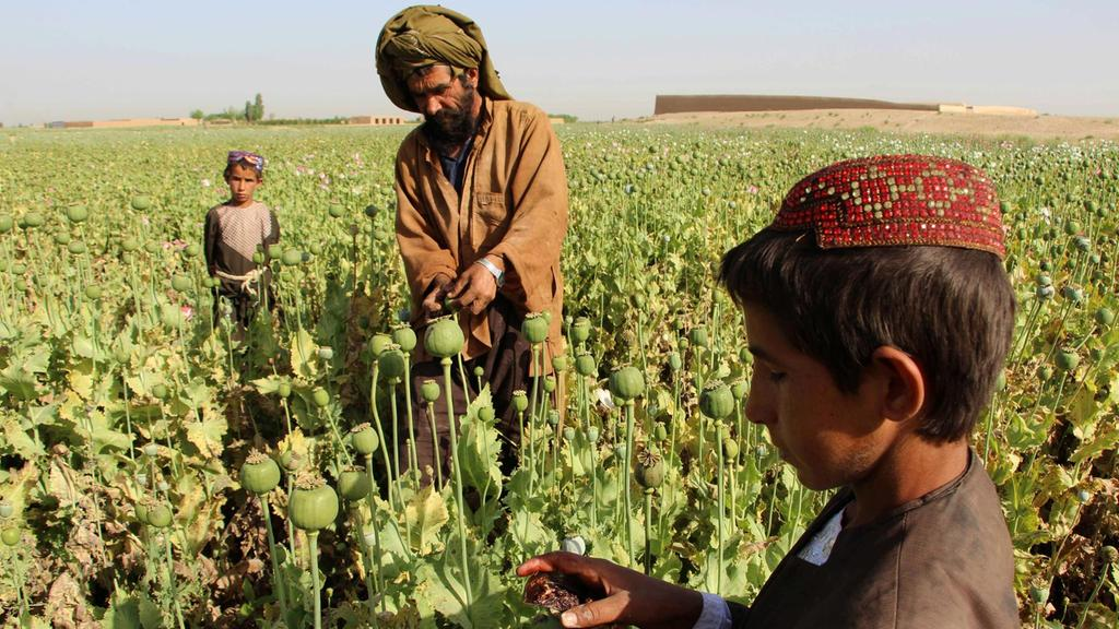 Afghan farmers revert to growing opium, sending yields soaring